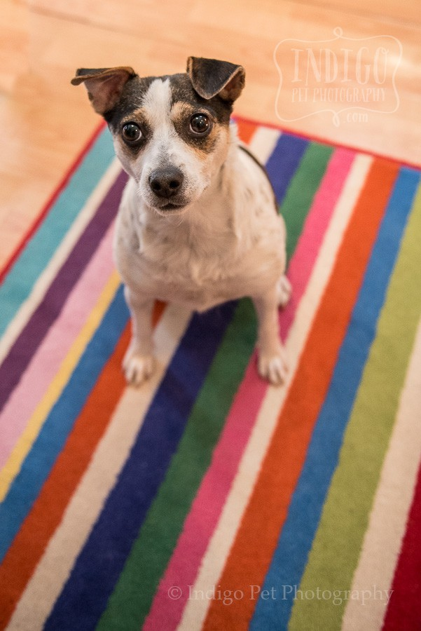 Lilly the JRTRO rescue on a colorful carpet and looking up