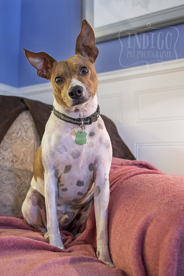 a rescued JRT sitting proudly for his portrait