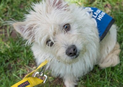 Sweet little Westie X available for adoption through Lincoln Country Humane Society