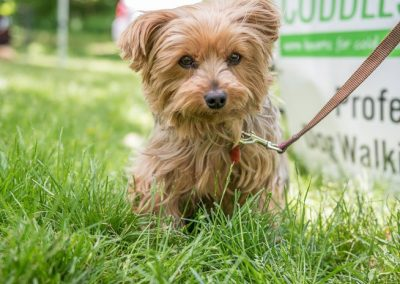 adorable little Yorkshire Terrier in the deep grass