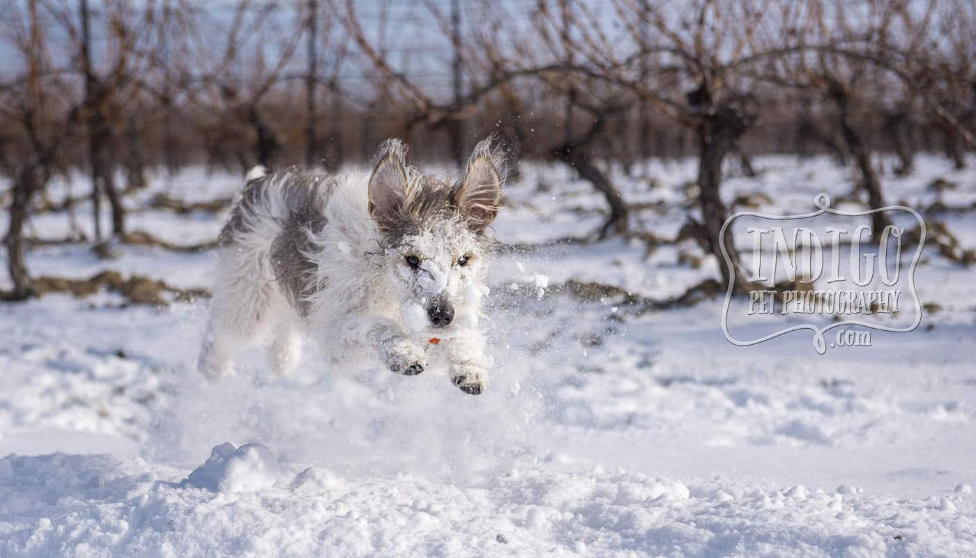 Lucca the Snowdog by Pet Photographer Karen Black