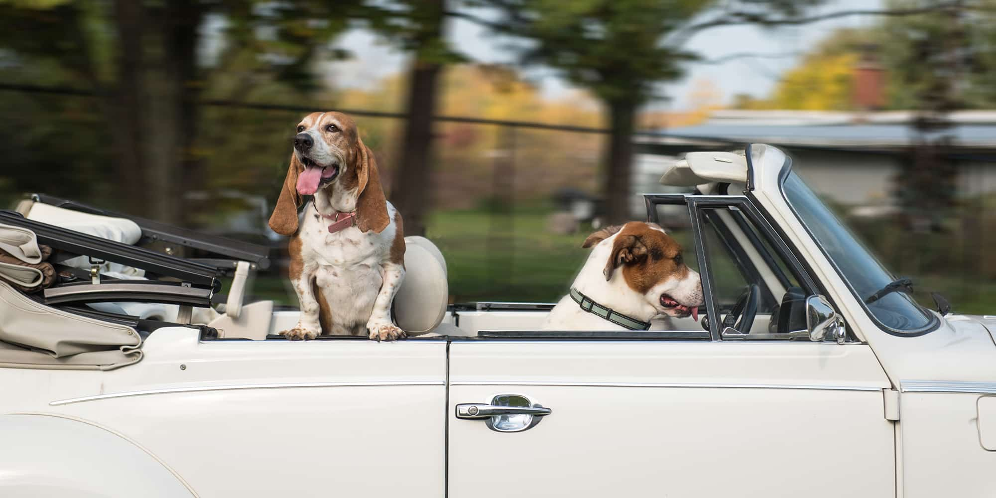 dogs joy riding in vintage car