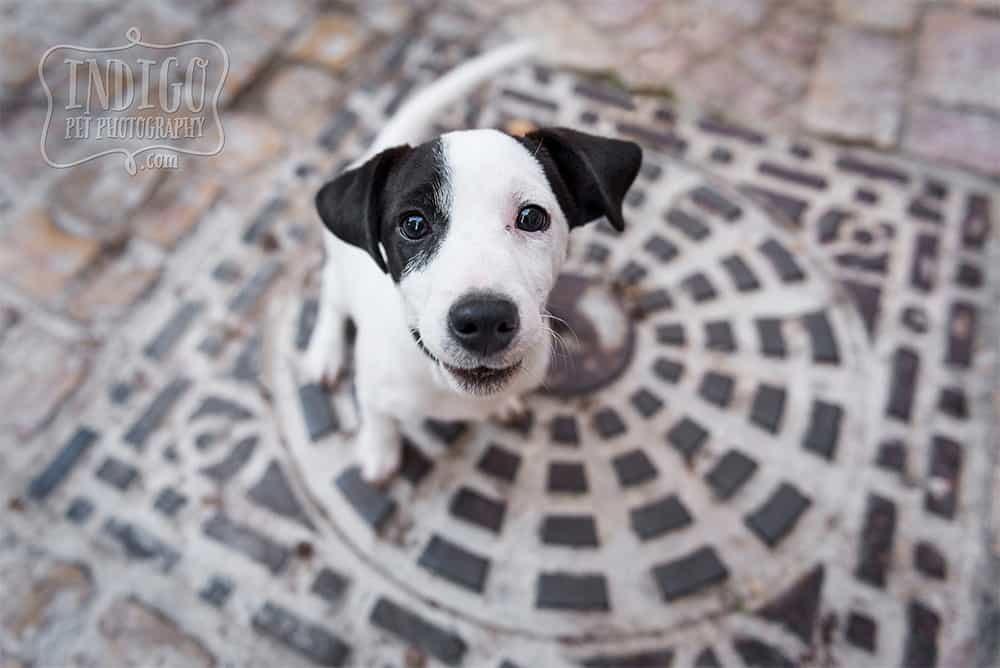 Baby Jack Russell