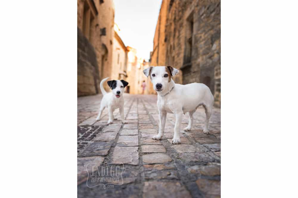 Momma Jack and baby jack russell in streetscape