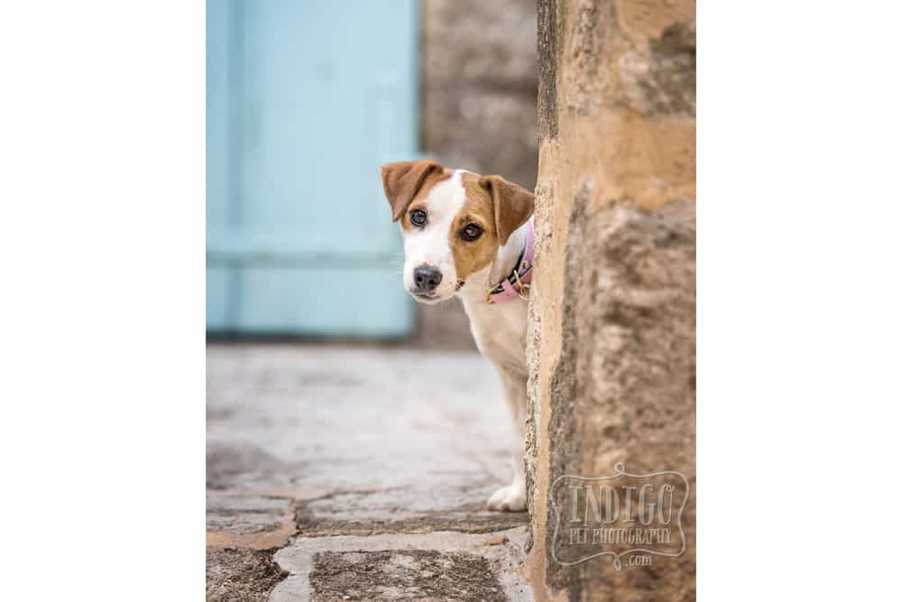 Curious Jack Russell looking around corner