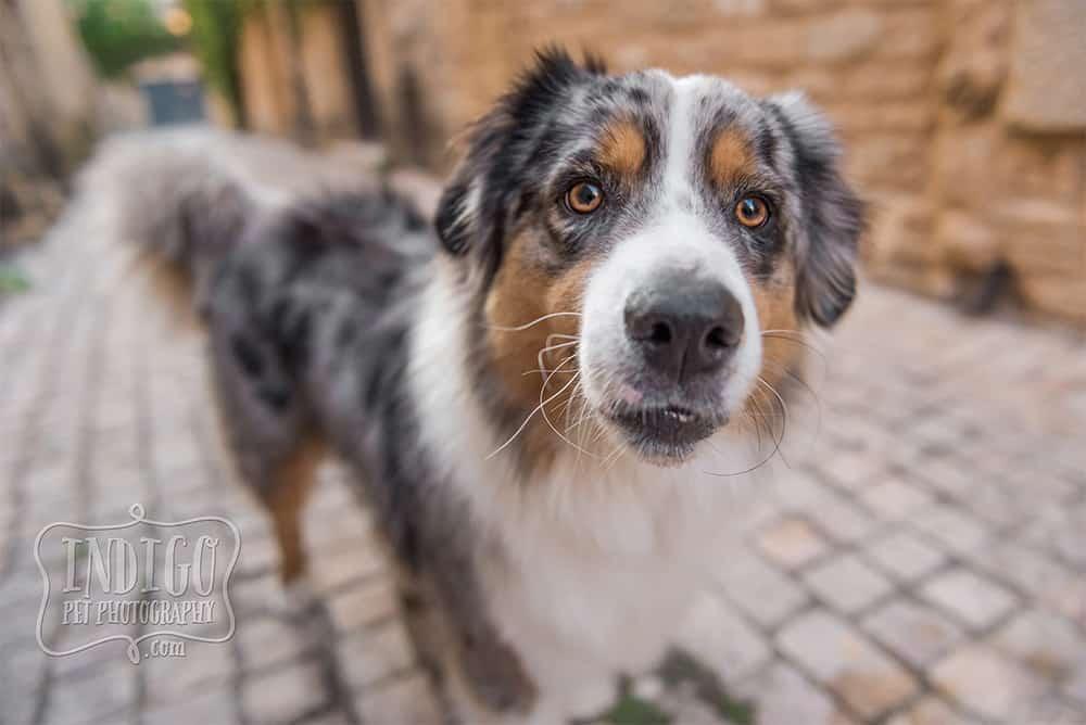 sweet face of aussie shepherd up close
