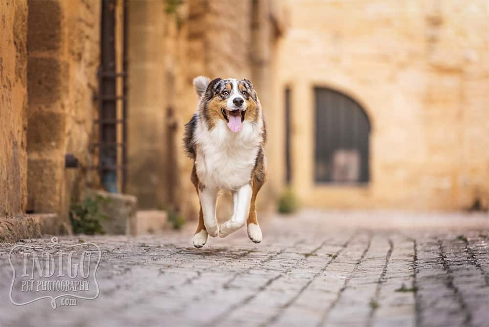 Running Australian Shepherd dog