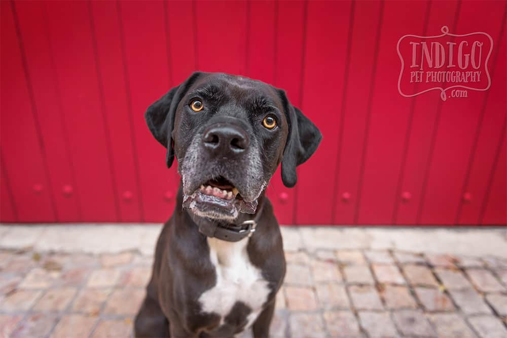 Cane Corso mix dog in front of red door