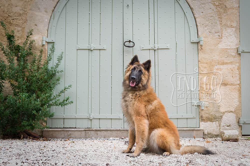 Young Belgian Tervuren posing in front of ancient french gates