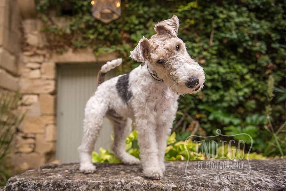 Wire-haired fox terrier head tilt