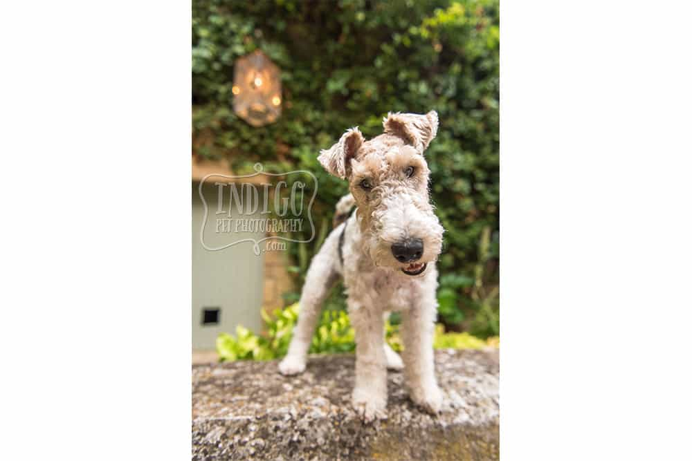 Curious Wire-Haired Fox Terrier