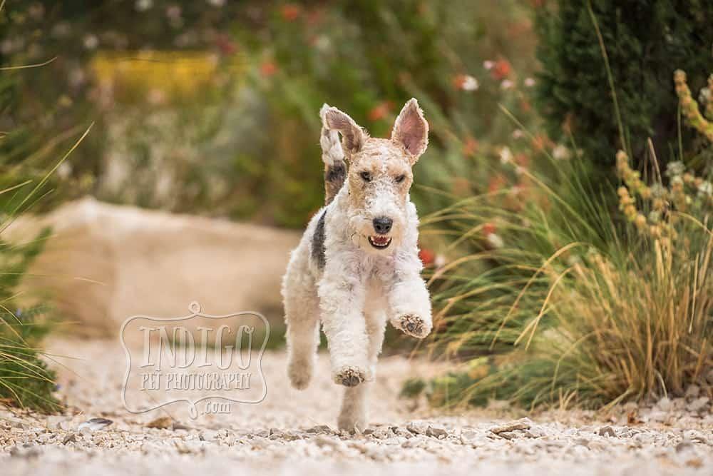 Running wire-haired fox terrier