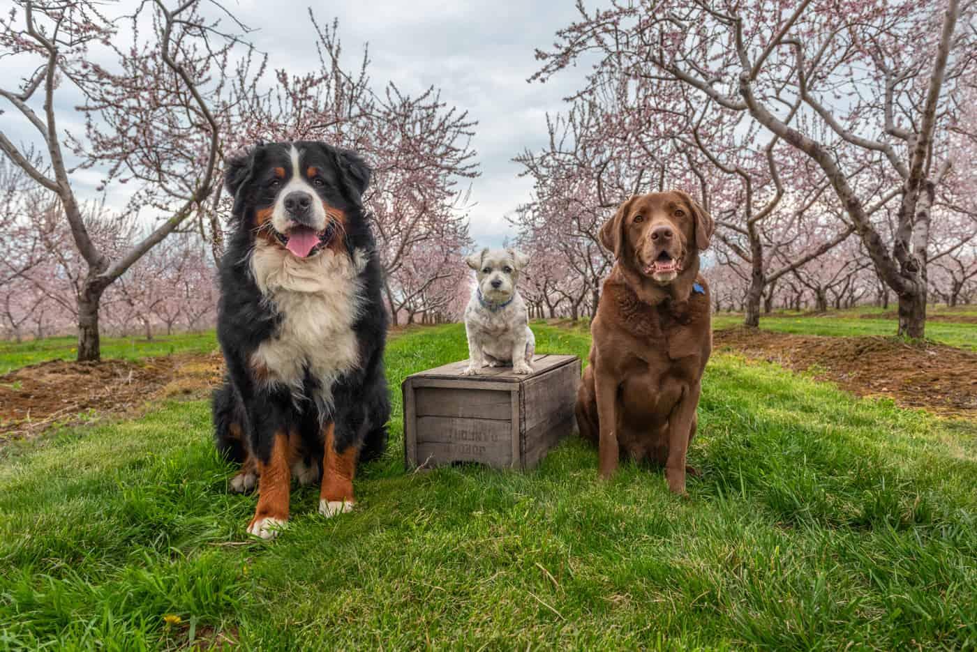 Indigo-Pet-Photography-blossom-dogs-IG-001