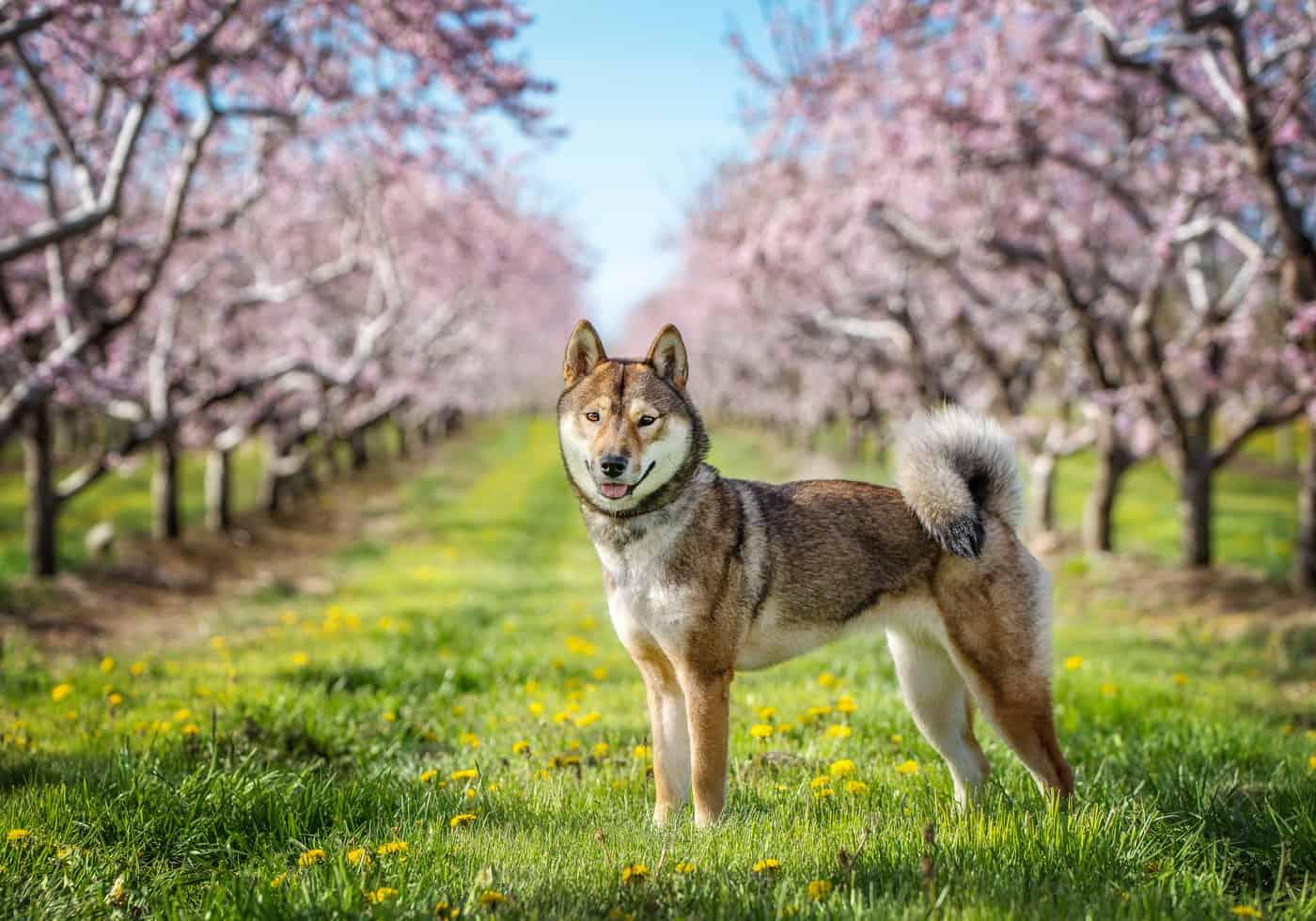 Indigo-Pet-Photography-blossom dogs-WM-003
