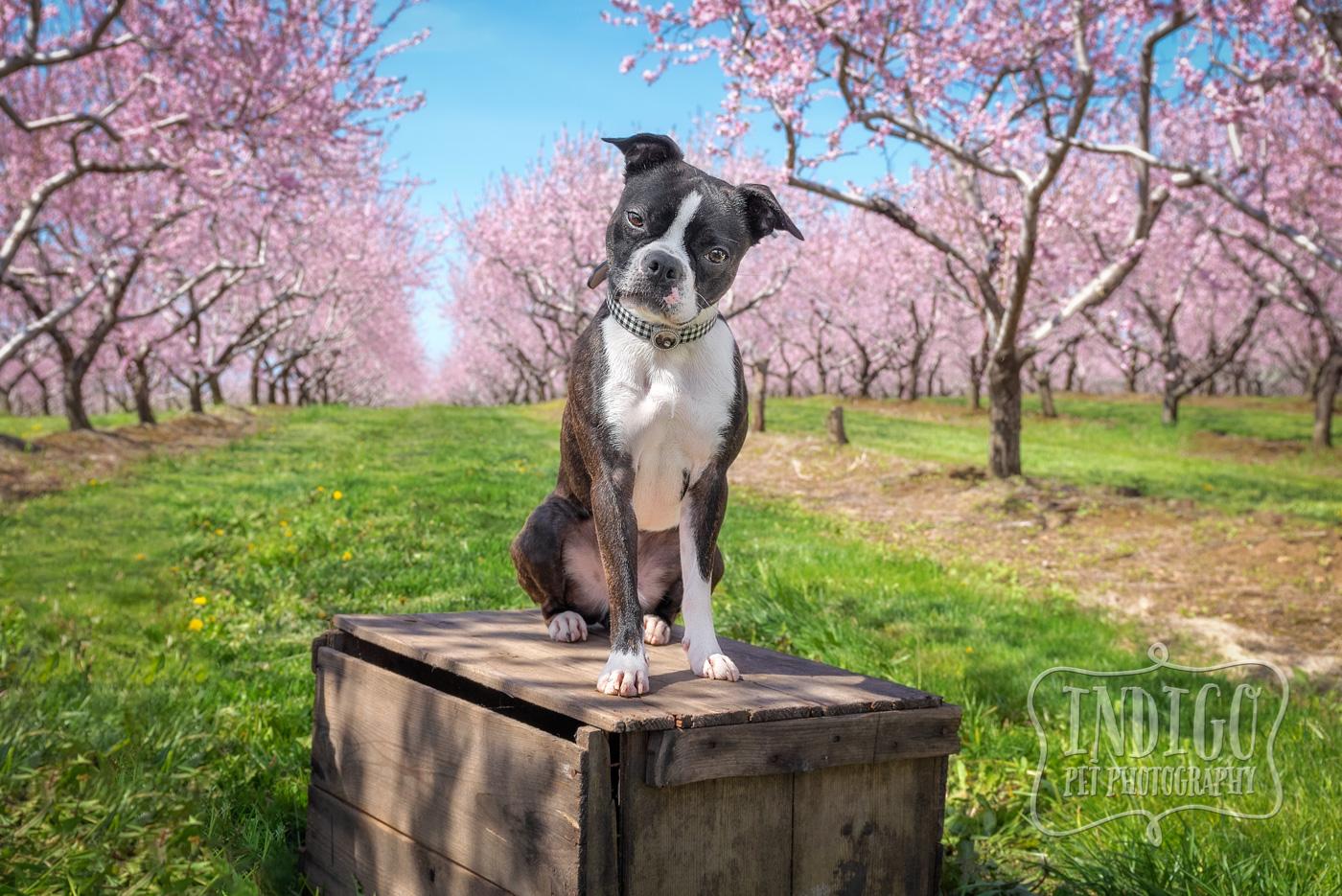Keri's Breeze, the wonder Boston Terrier